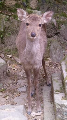 Il est trop mignon Bambi, non? Le parc de Nara en regorge, absolument pas farouches.